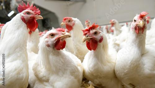 Keuken foto achterwand Kip White chickens farm