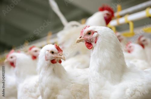 Foto op Canvas Kip White chickens farm