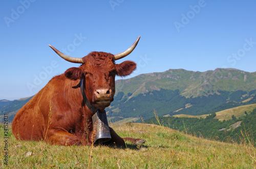 Photo Vache Salers avec sa cloche en estive dans les montagnes du cantal avec le puy M