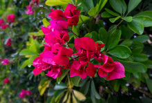 Bright Pink Bougainvillea Tenerife