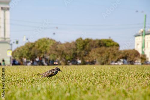 Fototapeta Bird thrush in the Park on the lawn.