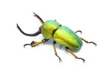 Beetle : Lamprima Adolphinae O...