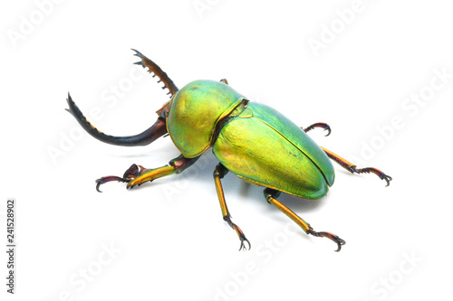 Photo Beetle : Lamprima adolphinae or Sawtooth beetle is a species of stag beetle in Lucanidae family found on New Guinea and Papua