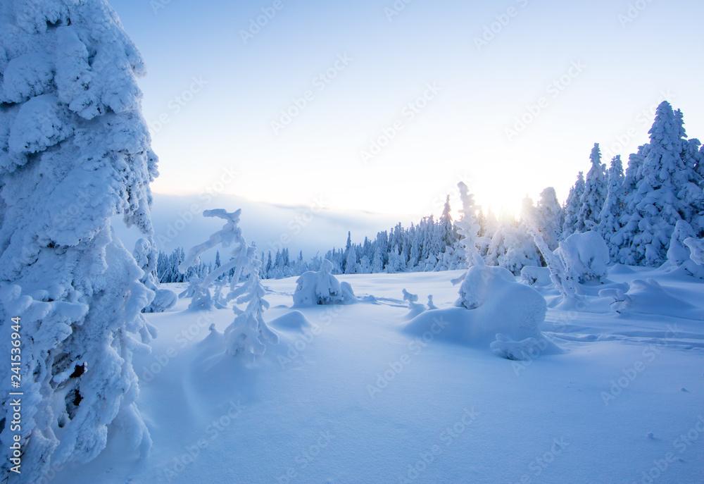 Fototapety, obrazy: Winter snowy spruce tree forest