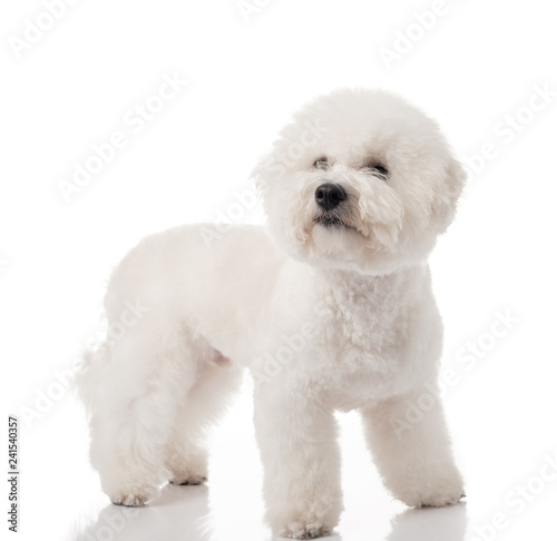Bichon Frise puppy Canvas Print