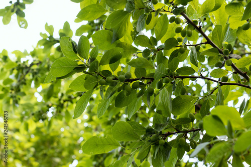 Unripe green plums on branch. Place for text.