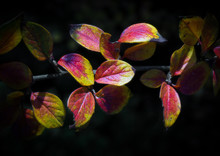 Autumn Leaves Showing Discolouration In Winter Time