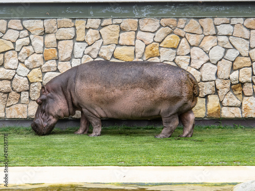 hippopotamus at the zoo eats grass