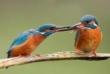 Two Common Kingfishers, Alcedo...