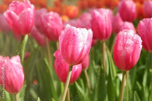 pink tulip garden and flower background #241563564