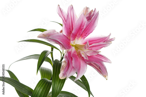 Photo sur Toile Orchidée Pink brindle exotic lily flower isolated on white background.