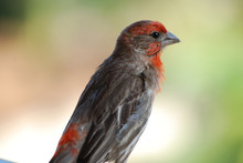Red Headed House Finch With Ru...