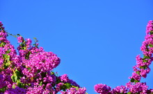 Bright Pink Flowers Of Bougain...
