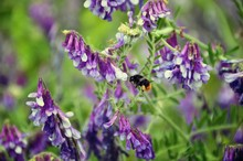 Bumble Bee Flying And Purple Flowers