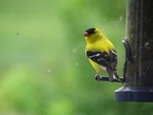 Goldfinch On Feeder 2