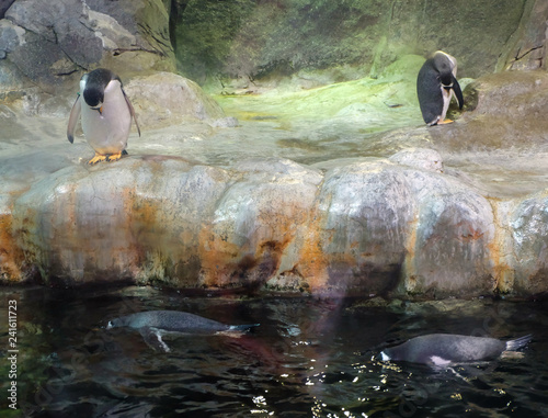 Gentoo penguins ( Pygoscelis papua) at the reservoir in the aviary of the Moscow Zoo.