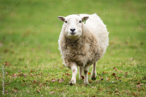 Spoed Fotobehang Schapen sheep in field