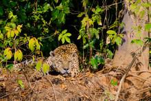 Jaguar (Panthera Onca) Resting...