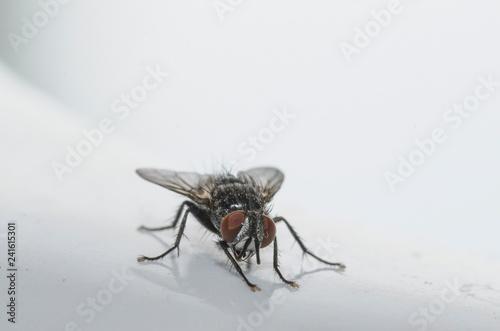 Fotografie, Obraz  Esemplare di mosca domestica in primo piano