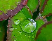 Shiny Raindrops On Green And Purple Leaf