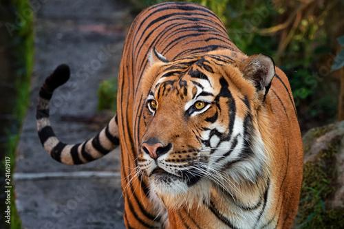 Fotografía  Tiger malay