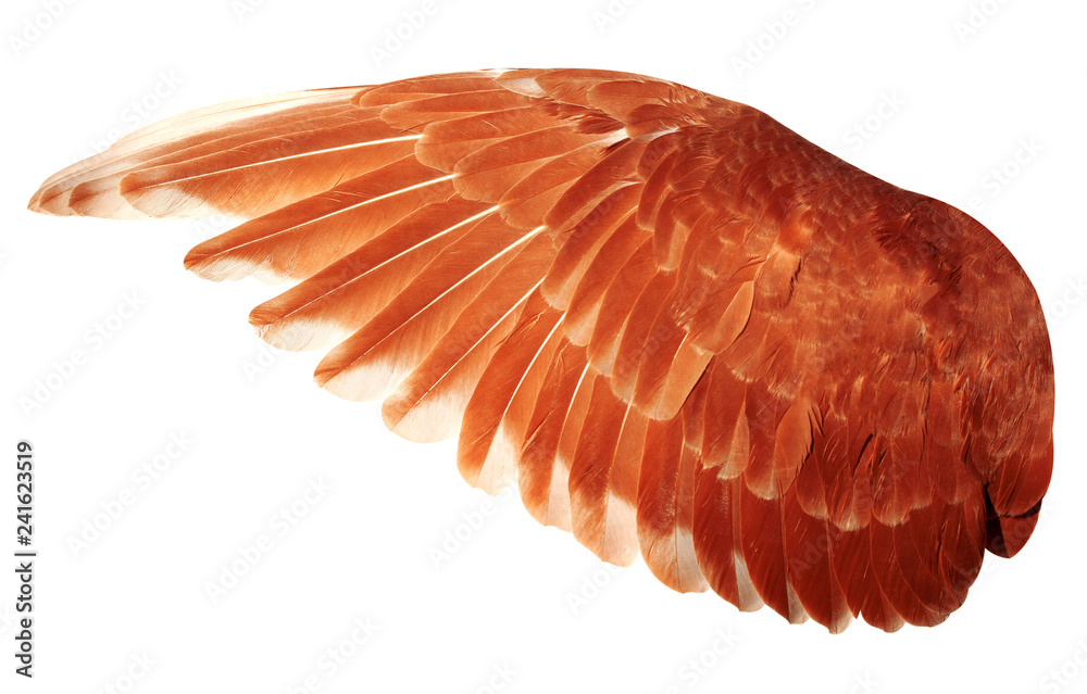 Angel wings isolated on white background. The wings of the pigeon.