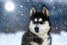 Husky In Snowy Winter Night Watching Closely