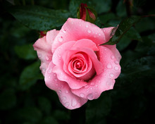Close-up Of Pink Rose With Rain Drops Over Blurred Dark Green Leaves
