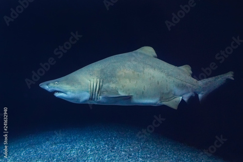 A beautiful big sand tiger shark
