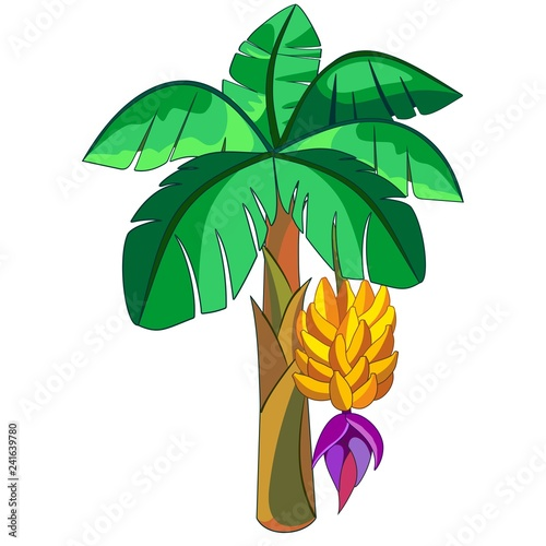 Poster Draw Banana Exotic Plant Vector illustration isolated on white