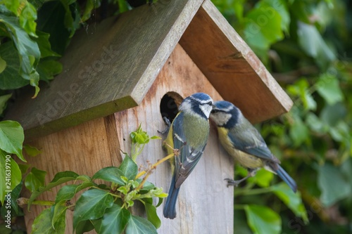 Photo A pair of Blue Tits at a nesting box
