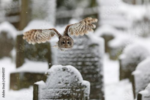 Strix aluco, Tawny owl  flying above tombstones in cemetery. Wildlife scene nature