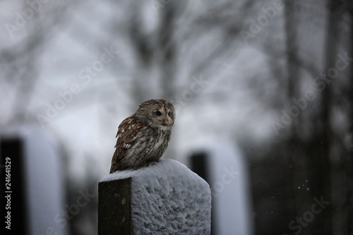 Tawny owl - Strix aluco - sitting on tombstone in jewish cemetery at night