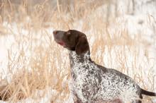 Greyster Dog Winter Portrait In Grass