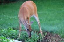 Suburban Deer Eating Up A Garden