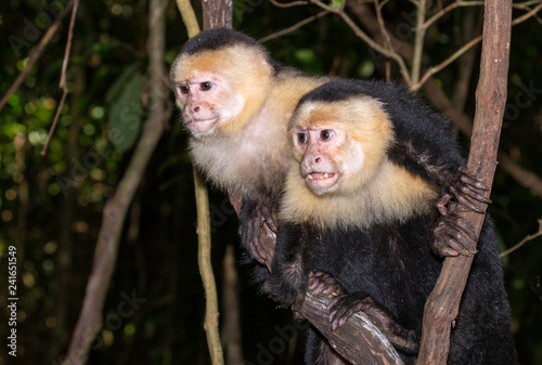Fotografia, Obraz  White-headed capuchin (Cebus imitator), two monkeys looking to the side, Puntarenas, Costa Rica