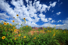 Wild Sunflowers Grow In A Wide...