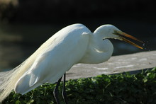 Great White Egret Walking In A Patch Of Green Grass