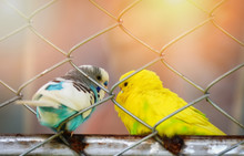 Parrot In Cage / Blue And Yell...