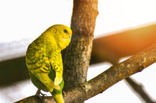 Budgerigar On Branch / Yellow ...