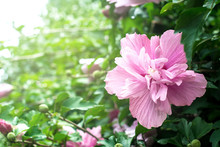 Pink Purple Hibiscus / Dreamy Pink Flowers
