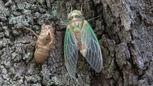 Green Cicada Emerging From She...