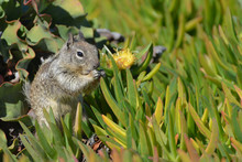 Squirrel Amidst Ice Plants Hav...