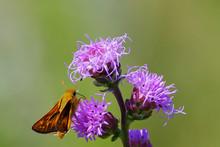 Skipper Butterfly On Blazing S...