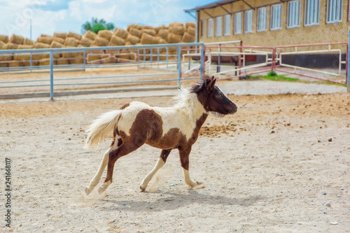 Foal horse pony. Farm for breeding horses. Lovely and gentle horses. Fluffy brown mane and sky-blue eyes of an animal. Pony in a dressing. Pony runs in the pen. Little white-brown foal.