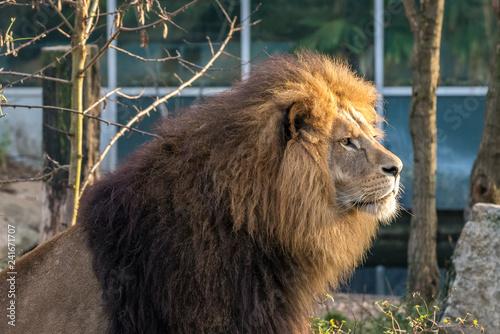 Fotografía  Löwe - Panthera leo