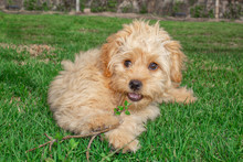 Mini Goldendoodle Puppy Dog ​​walks Outdoors On A Green Lawn