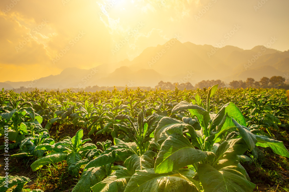 Fototapety, obrazy: Tobacco Agriculture plant field with countryside beautiful mountain hill background.