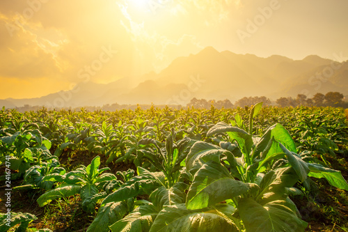 Obraz Tobacco Agriculture plant field with countryside beautiful mountain hill background. - fototapety do salonu