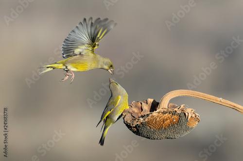 Fotografie, Obraz  Un bacio in volo (Verdone comune, Chloris chloris)